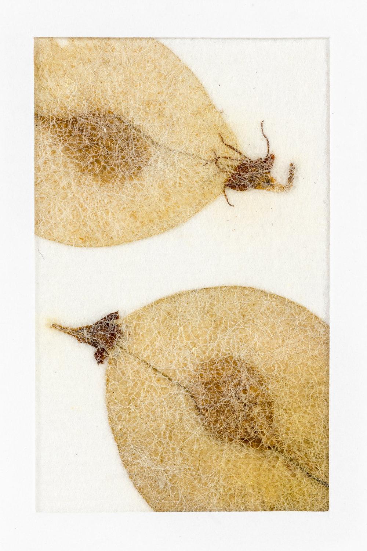 seed detail of wych elm.jpg