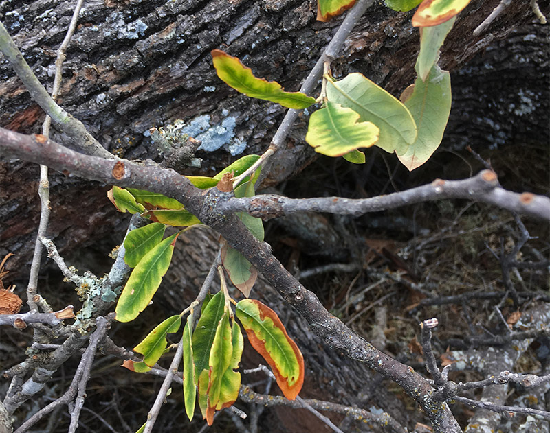 oak wilt - Identifying the Oak Wilt Symptom known as Veinal Necrosis can be tricky, but Briggs Oak Wilt Service can help you start the process…