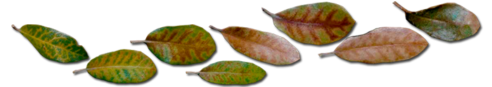 Examples of Live Oak leaves that are showing Oak Wilt Symptom known as Veinal Necrosis. These leaves can be found on the tree or on the ground under or around the tree.