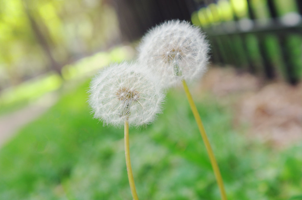 Dandelion Love.jpg