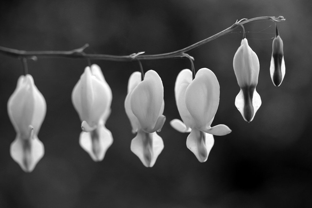 Dicentra black and white.jpg