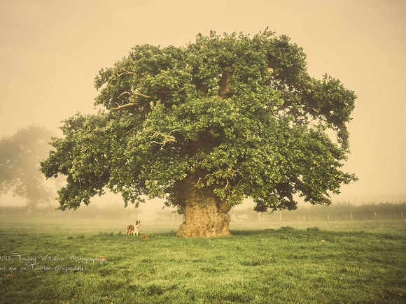 The Brimmon Oak, Wales (Photo: WTML/T Williams)