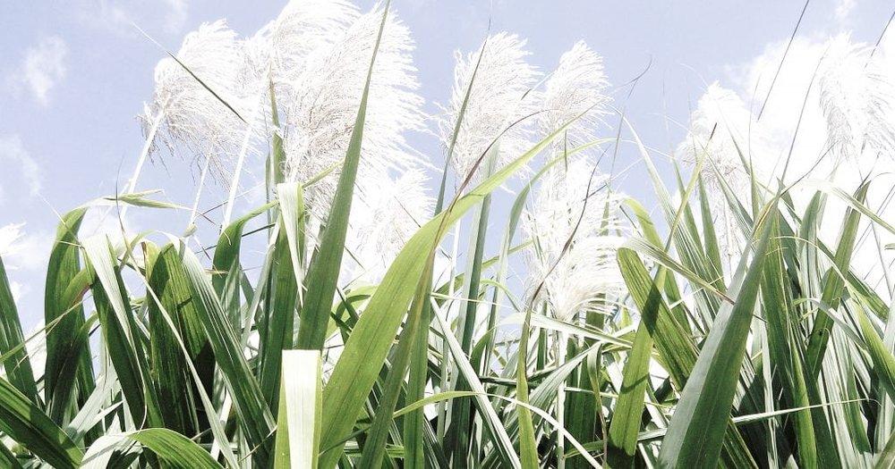 herbal_mist_teas_sugar_cane-1024x538.jpg