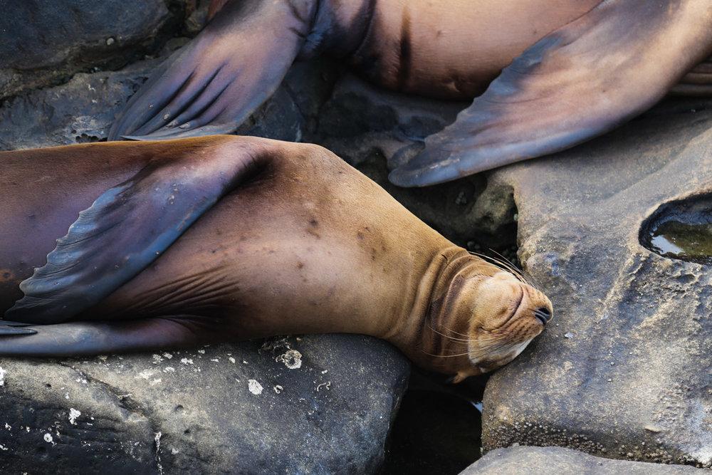 sleepy seal.jpg