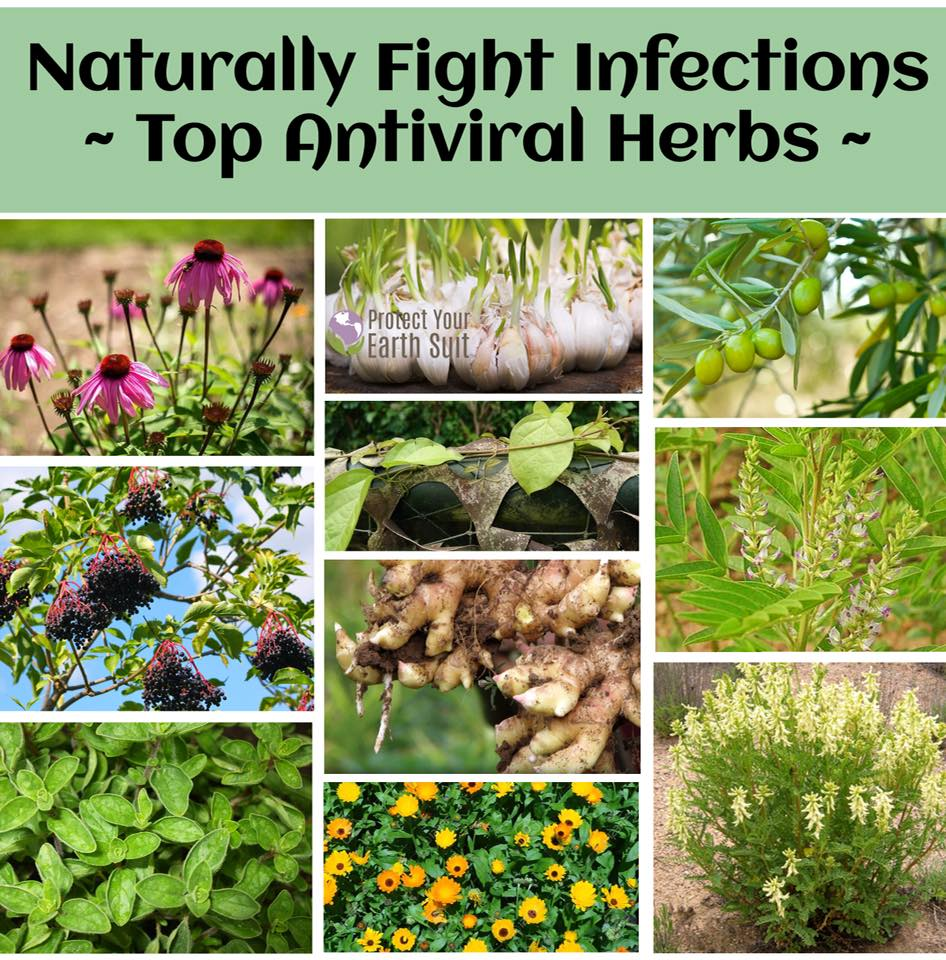 1 Top Antiviral Herbs.jpg