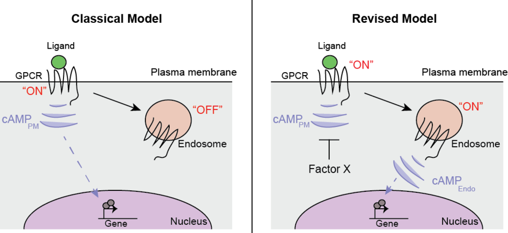 """Figure- Spatial encoding of GPCR/cAMP cellular responses.   Left,      The classical GPCR model: receptors sense ligands and initiate signal transduction from the cell surface, but are turned """"off"""" once internalized.      Right,      A revised model based on our data: GPCRs activation and cAMP production from endosomal receptors is more efficiently coupled to the cellular transcriptional response."""