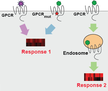 Figure- Ligand discrimination.  Different ligands binding the same GPCR vary in their endocytic efficacy. Does ligand-induced internalization underlie drug specificity? Genes encoding receptors and other signaling components are polymorphic in the human population (red star denotes a SNP in the GPCR gene). How do variants affect GPCR trafficking and ligand-dependent signaling?