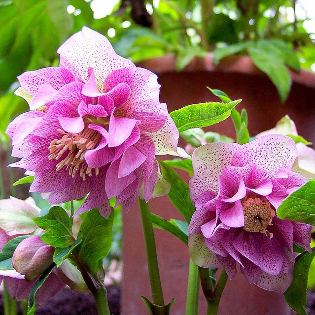 SHADY CHARACTERS - Whether it's perennials like Hellebores, Geraniums or ferns, or shrubs like Acers, Fatsias and Camellias, we've always got a good range of plants to choose from if you've got a shady spot you need some help with….
