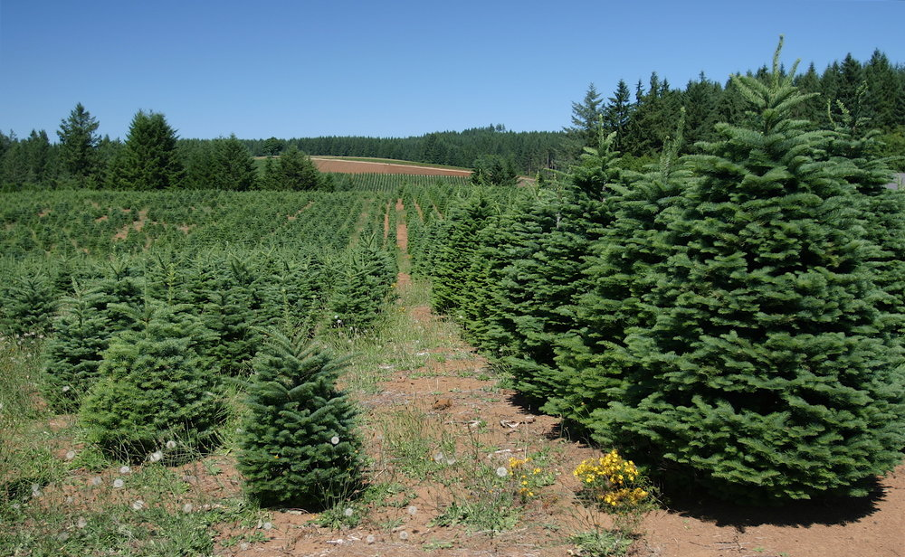 CHRISTMAS TREES - Very much still the new kid on the block, we began selling Christmas trees in 2016 and now provide nearly 1500 trees to the local area each year. We sell the low needledrop tree called the Nordman Fir, still the No.1in the UK!