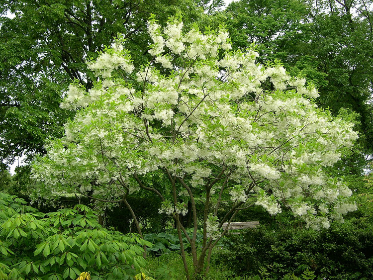 """Fringe Tree (Chionanthus virginicus) in Morton Arboretum Ground Cover Garden""    by    Jay Sturner    is licensed under    CC BY 2.0"