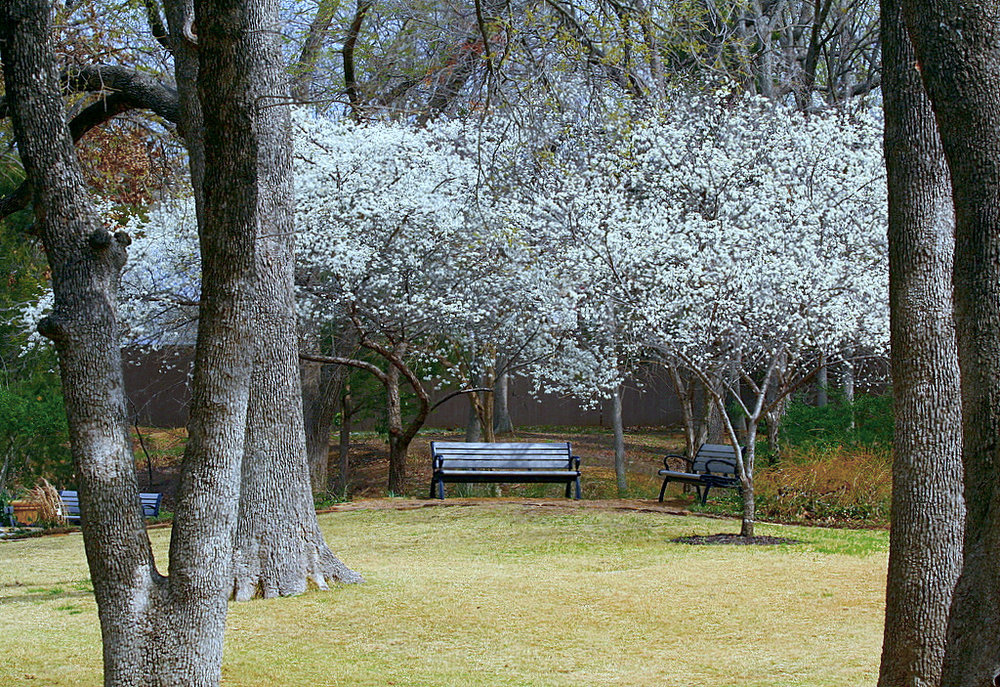 """Mexican Plum Blossoms""    by    TexasEagle    is licensed under    CC BY 2.0"