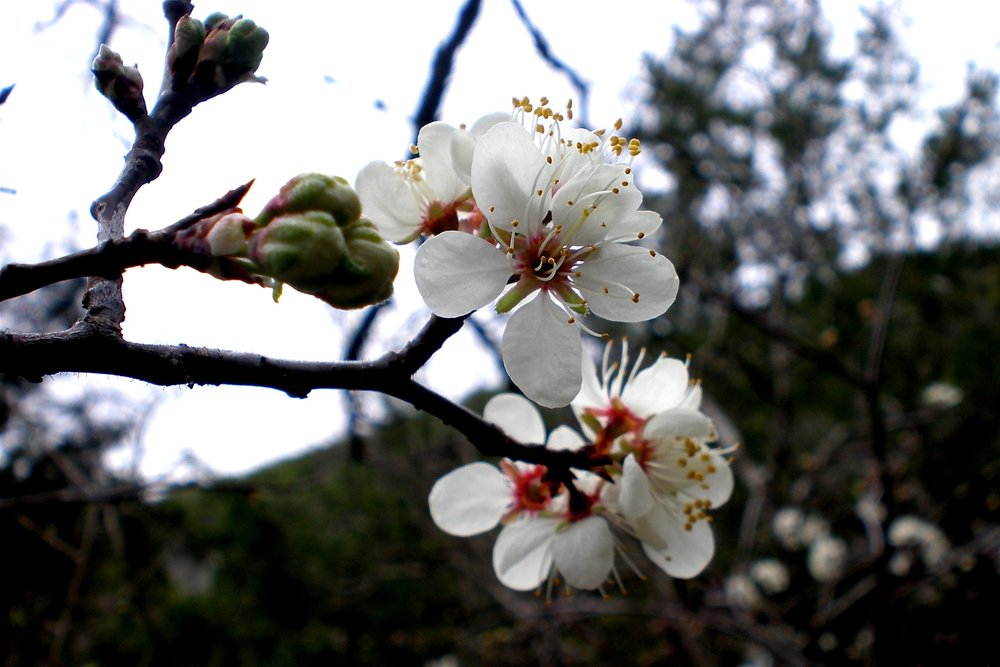 """Mexican Plum""    by    Mary PK Burns    is licensed under    CC BY 2.0"