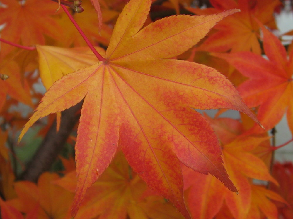 """Beautiful maple""    by    Ruth Hartnup    is licensed under    CC BY 2.0"