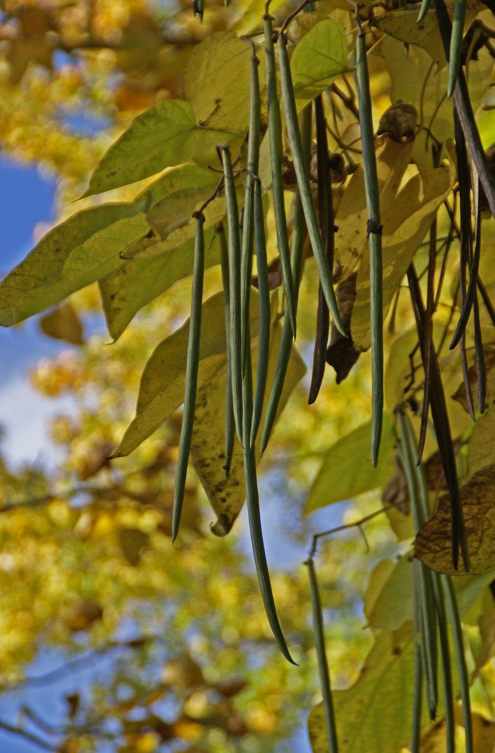 """""""Trompetenbaum, gewöhnlicher / southern catalpa (Catalpa bignonioides)""""    by    HEN-Magonza    is licensed under    CC BY 2.0"""