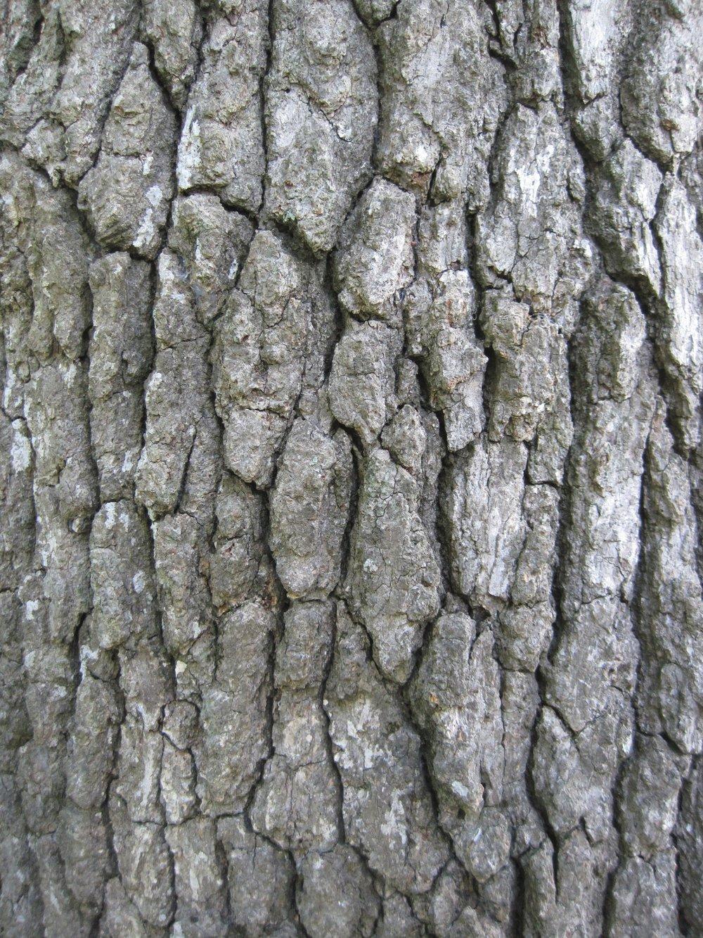 """   mature blackgum bark   "" by    mollsie    is licensed under    CC BY 2.0"