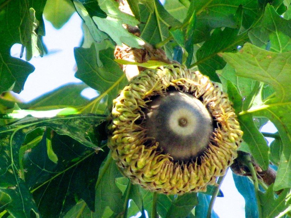 """""""   Bur Oak Acorn   """" by    Paul Cooper    is licensed under    CC BY 2.0"""