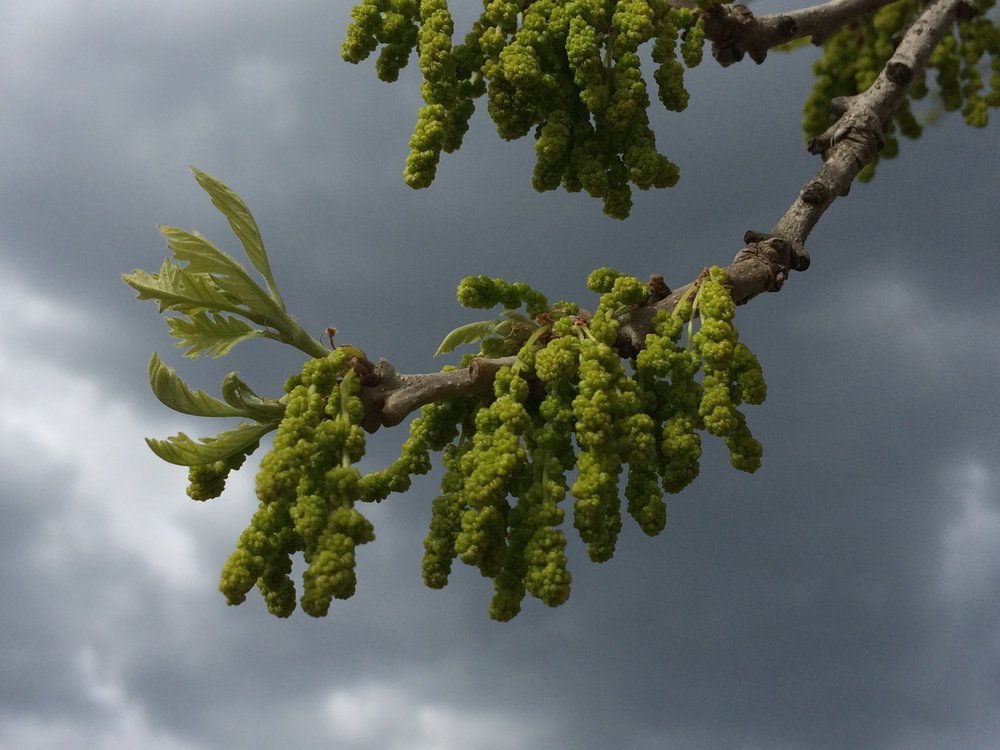 """   Bur oak catkins are getting ready to open   ."" by    Eli Sagor    is licensed under    CC BY 2.0"