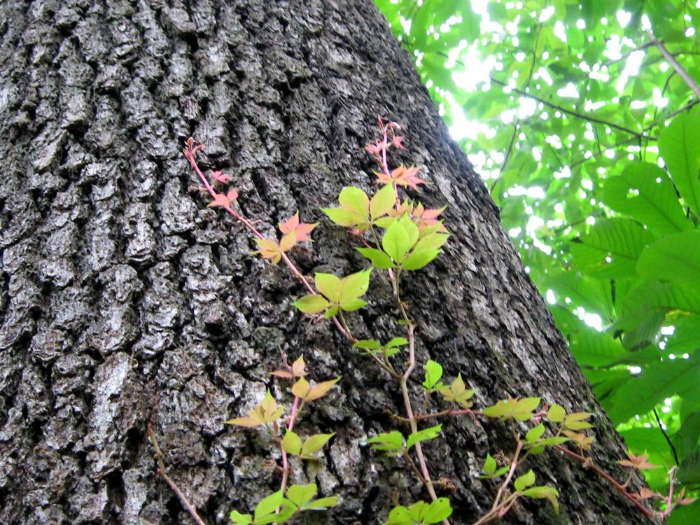 """   virginia creeper tickling a cherrybark oak   "" by    naomivantol    is licensed under    CC BY 2.0"