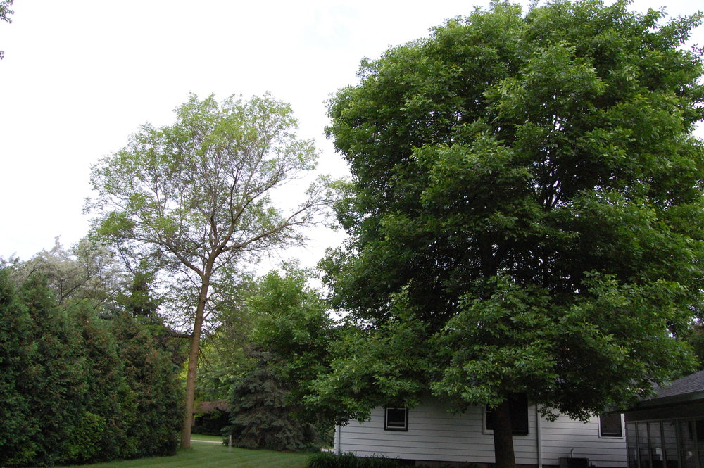 """""""   Ash decline - two green ash yard trees   """" by    Eli Sagor    is licensed under    CC BY 2.0"""