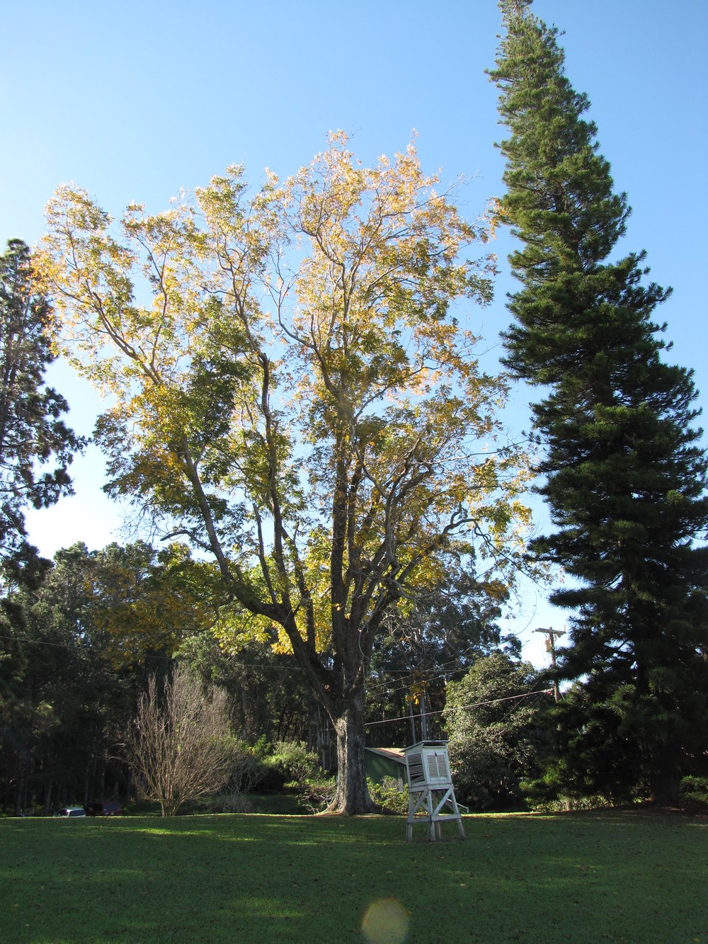 """""""   starr-110209-0550-Carya_illinoinensis-habit_fall_colors-MISC_Piiholo-Maui   """" by    Forest and Kim Starr    is licensed under    CC BY 2.0"""