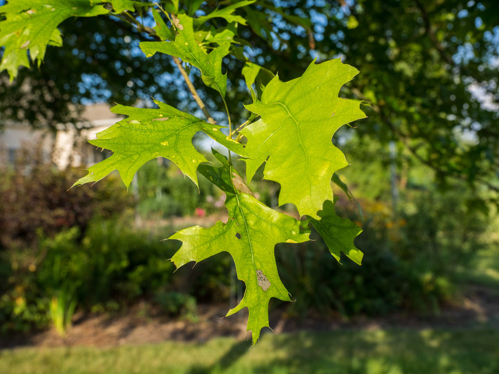 """""""   Quercus shumardii   , 2015"""" by    F.D. Richards    is licensed under    CC BY 2.0"""