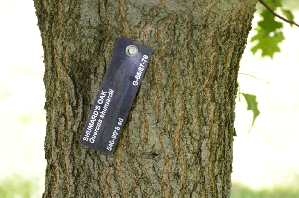 """""""   Shumard's oak bark. (Quercus shumardii.)   """" by    Greg Blick    is licensed under    CC BY 2.0"""