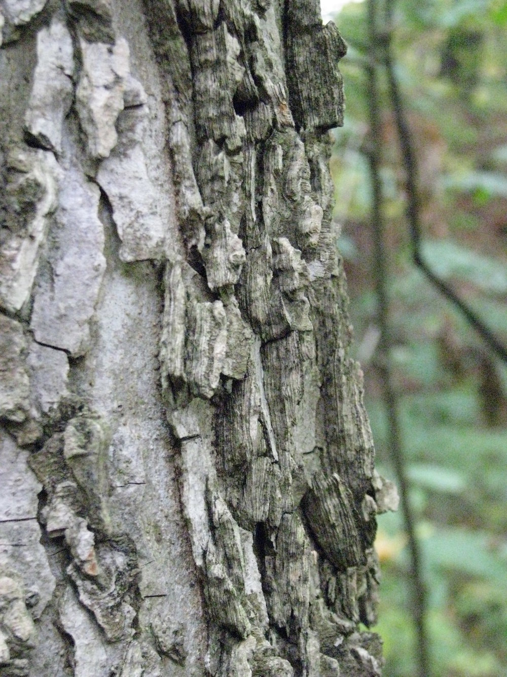 """   Celtis occidentalis (bark) - Ulmaceae   "" by    Kerry Woods    is licensed under    CC BY 2.0"