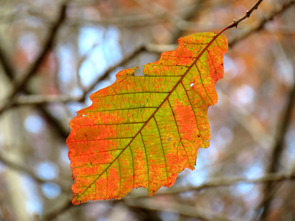 """   Swamp Chestnut Oak   "" by    Katja Schulz    is licensed under    CC BY 2.0"