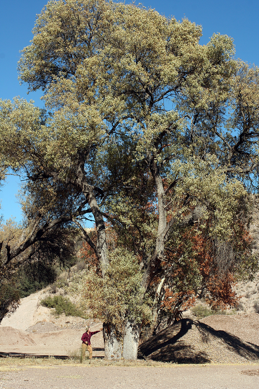 Russ Kleinman & Richard Felger, Western New Mexico University Department of Natural Sciences,    Source   .