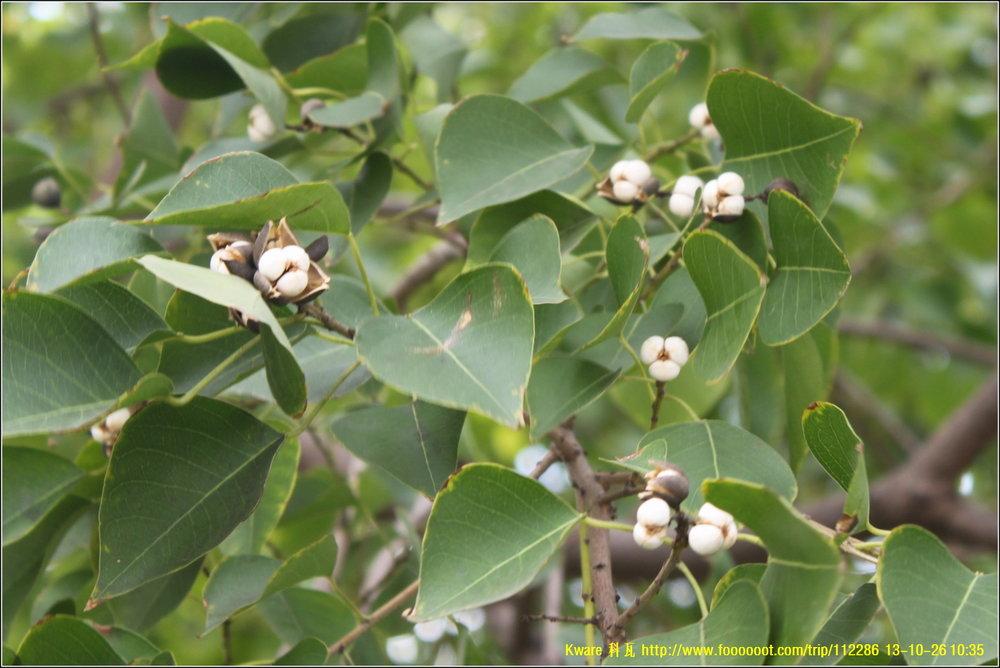 """""""   乌柏树 Chinese tallow tree   """" by    Kware Ji    is licensed under    CC BY 2.0"""