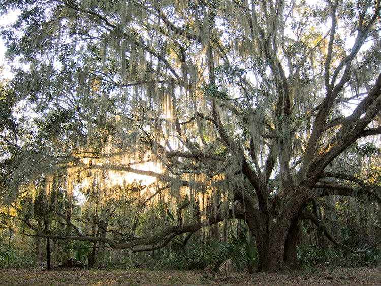 Houston Area Urban Forestry Council — Live Oak
