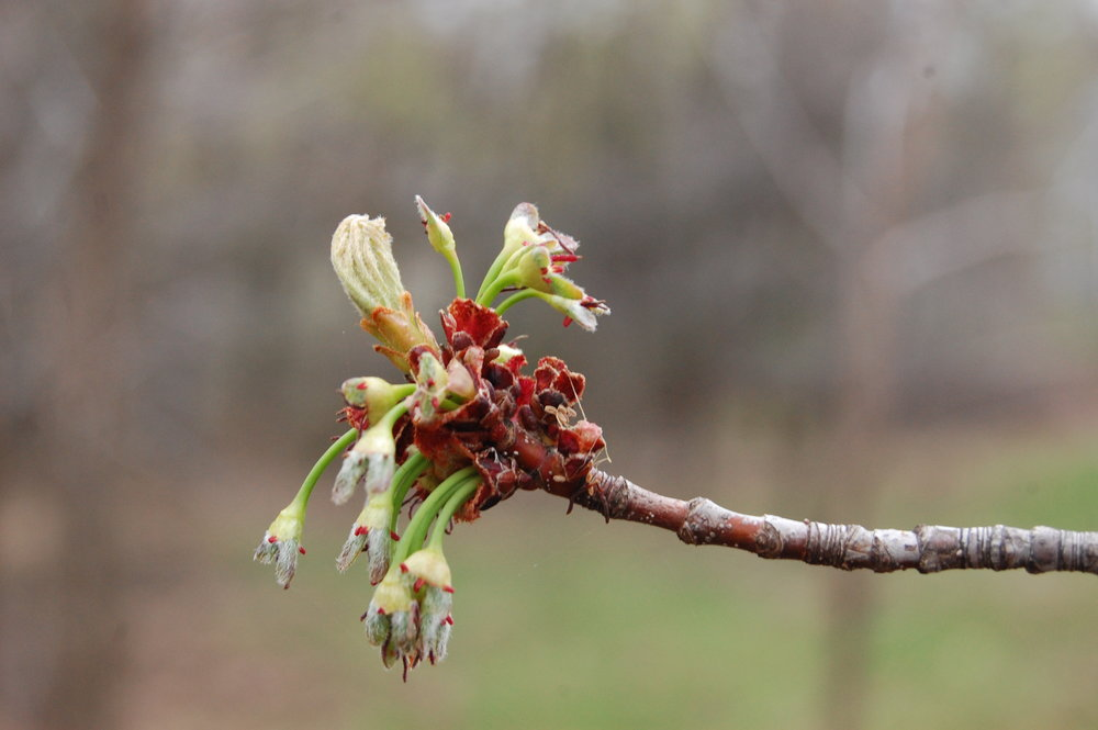 """   new leaves and early seeds on silver maple wp park 130509 closer   "" by    Eli Sagor    is licensed under    CC BY 2.0"