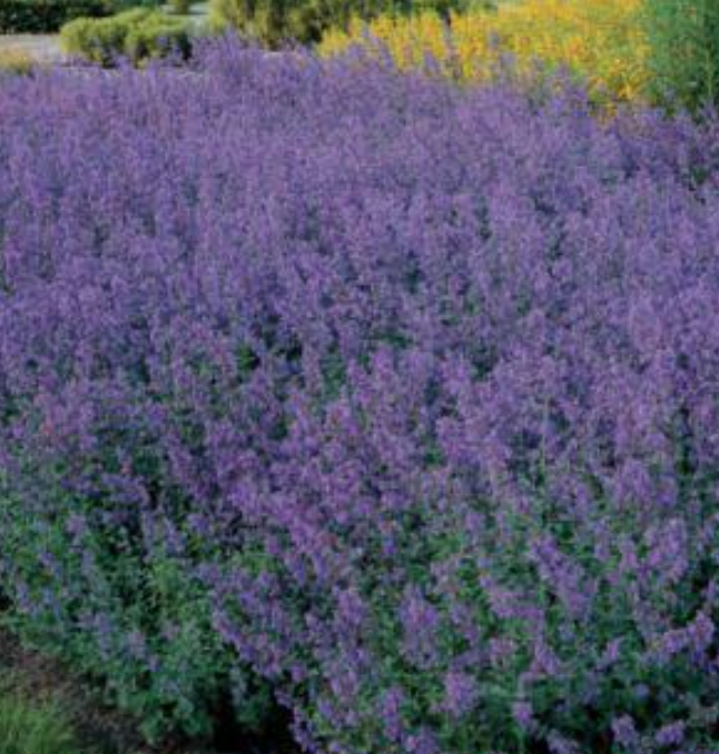 Catmint Nepeta Seeds Of Hope