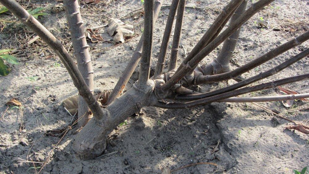 Gender non-binary manioc  waíputre  root