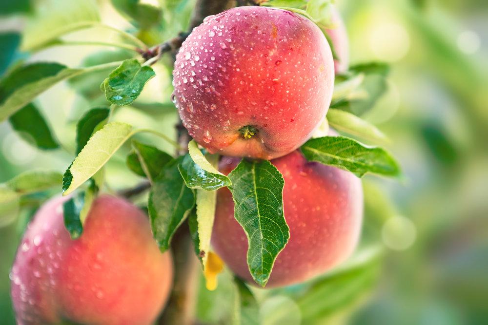 apple-tree-P66SD44.jpg