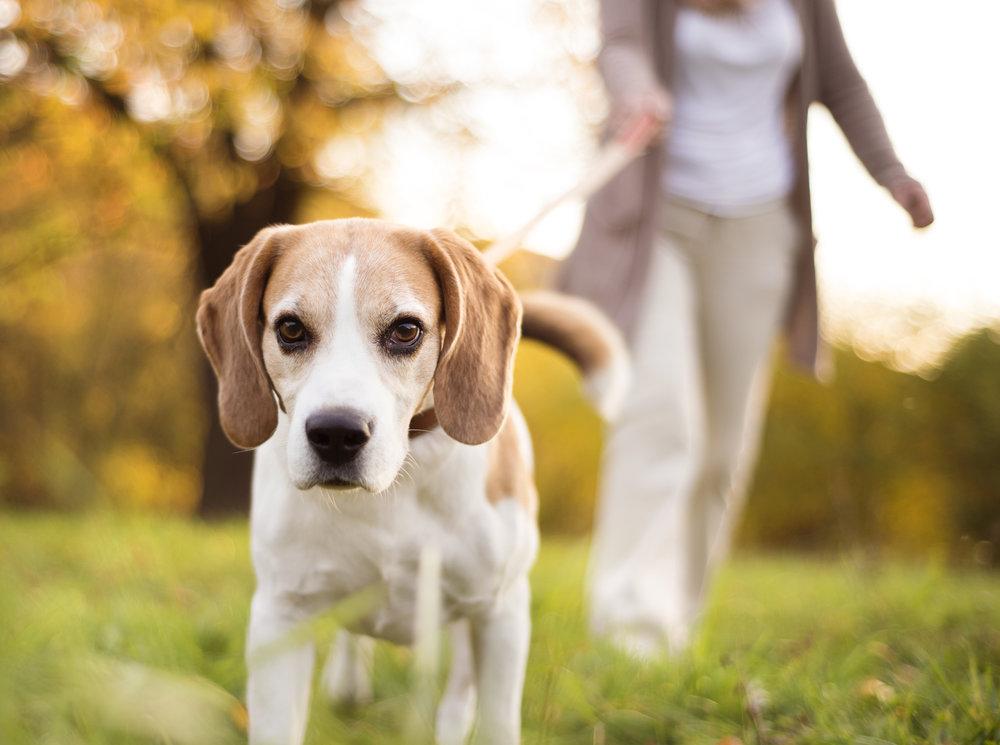 dog-walk-PWHJWKG.jpg