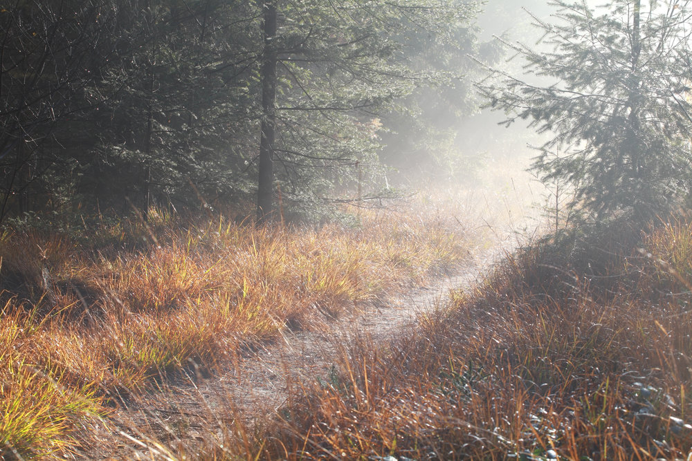 path-in-coniferous-forest-during-foggy-sunny-PU39SSX.jpg