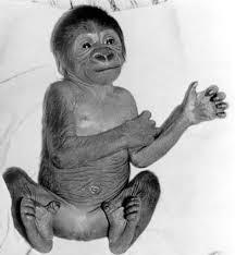 Baby gorilla exhibiting hip flexion when laid flat