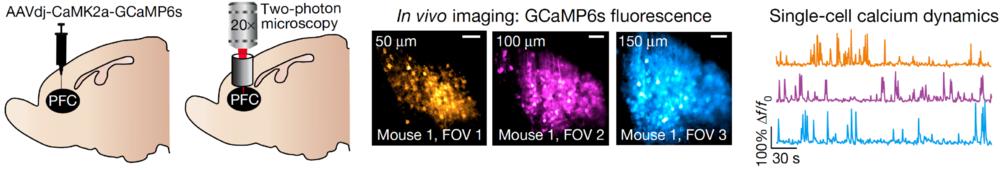 2p imaging in PFC.png