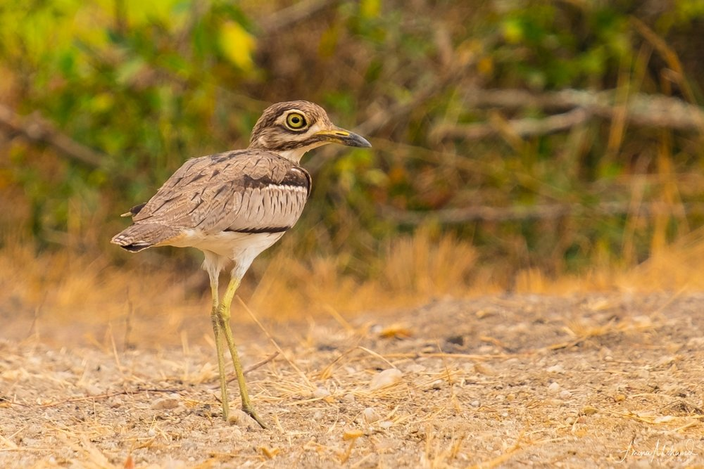 Water Thick-Knee, Uganda