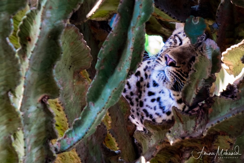 Leopard in Cactus Tree