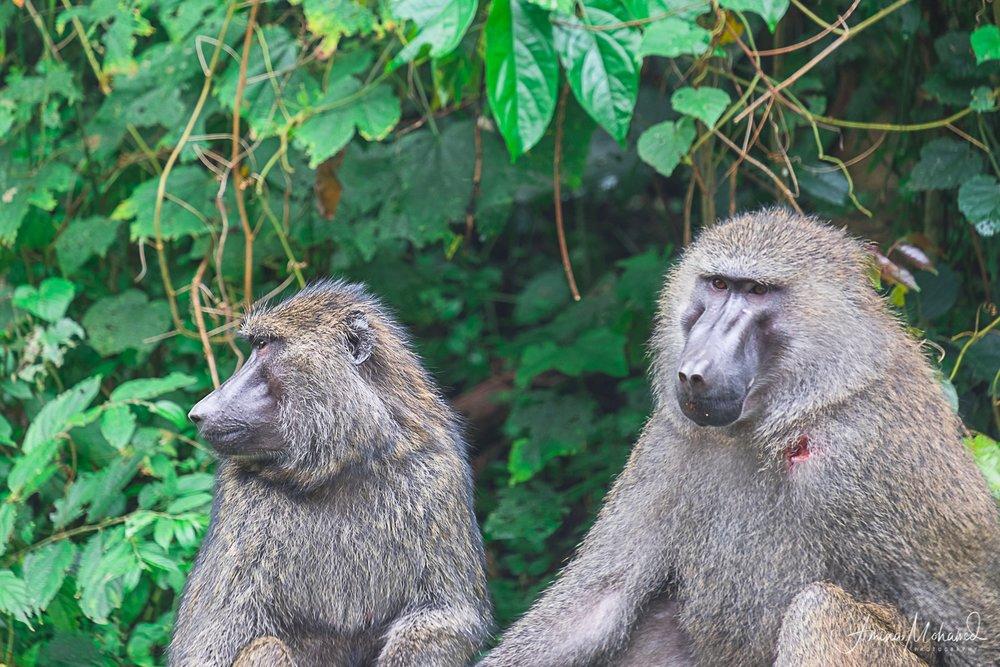Olive Baboons, sitting outside Khibale National Park, Uganda