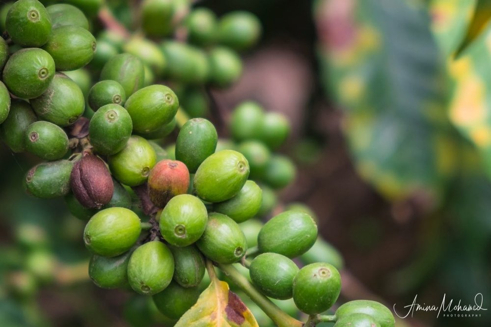 Coffee growing on the vines, Fort Portal