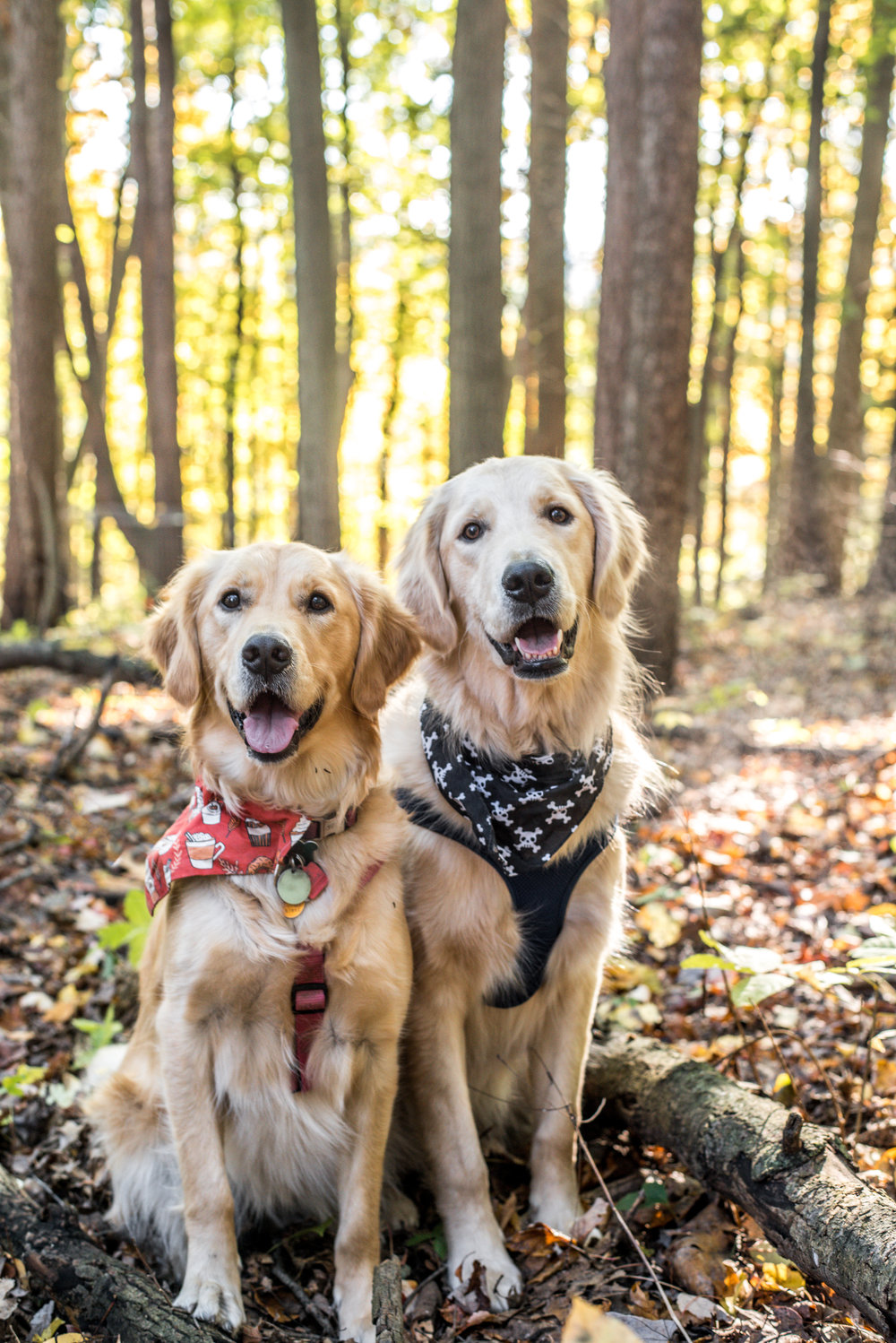 Millie and Murphy, Golden Retrievers