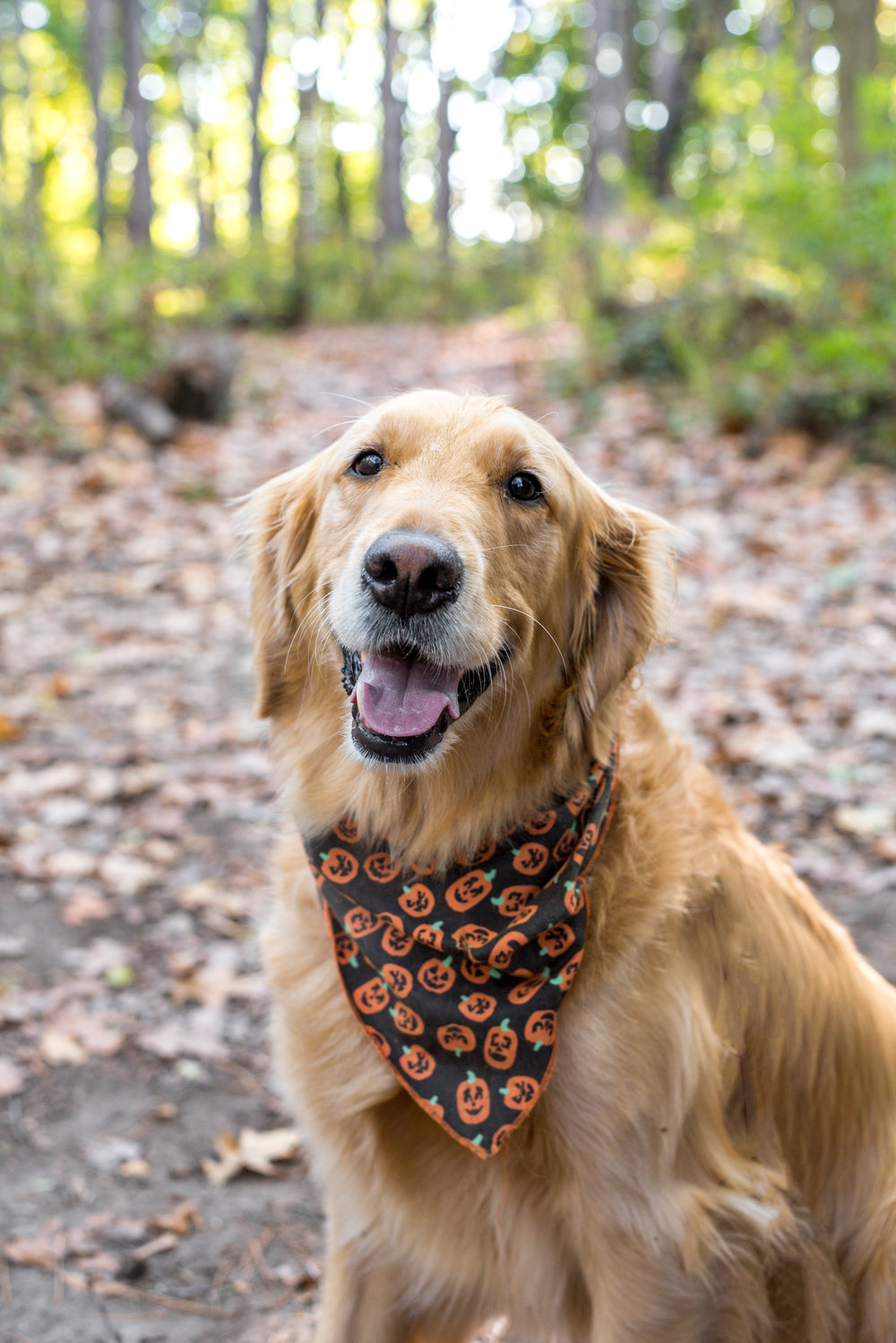 Cooper, Golden Retriever