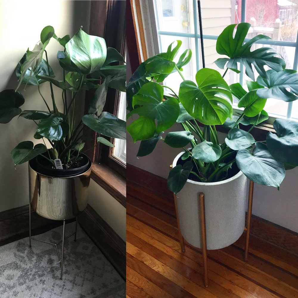 My first Monstera! 6 months ago- and now! The leaves don't always grow in with their split shape- sunlight plays a role in making that happen!