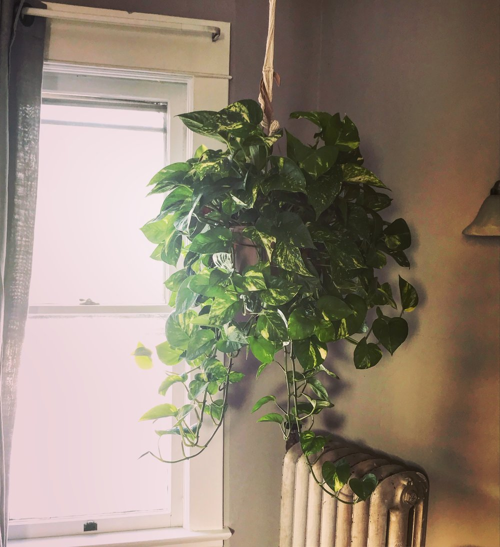 My pothos plant is basically bullet proof! In the summer it sits next to an AC unit- and in the winter that radiator is HOT. It doesn't seem to care- and I think thats because it enjoys its bright window. This plant has doubled in size since it was given to me in August as a b.day gift!