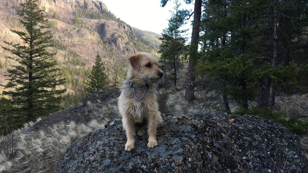 Scout out and about hiking in the Okanagan Valley, B.C.