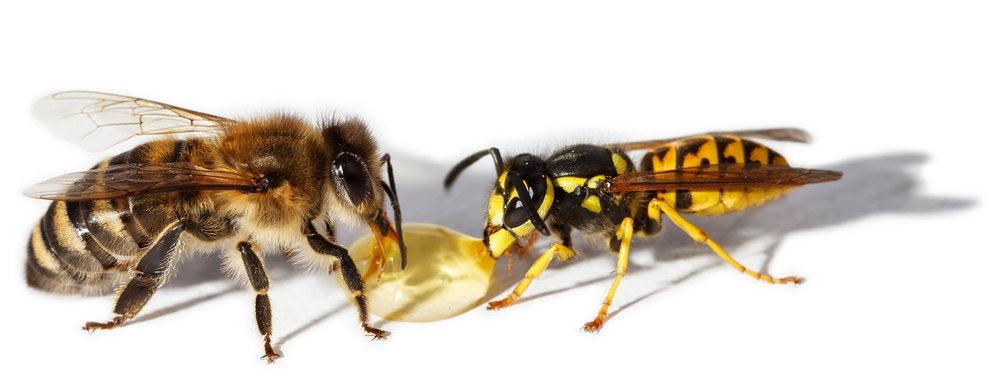 bee-yellow-jacket-wasp.jpg