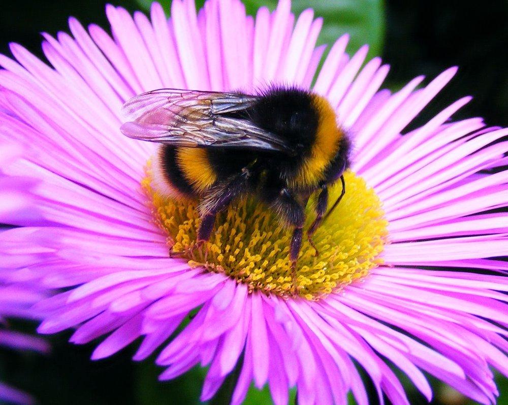 bumble_bee 2.jpg